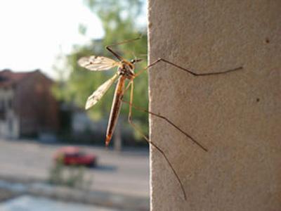 В Донецке появились огромные комары-мутанты (ФОТО)