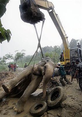 ForUm. УРА-Информ. Спасатели пытаются выручить дикого слона,