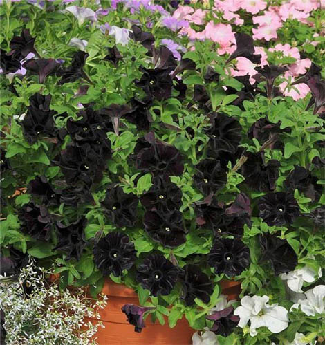 Чорні квіти добре поєднуються з усіма