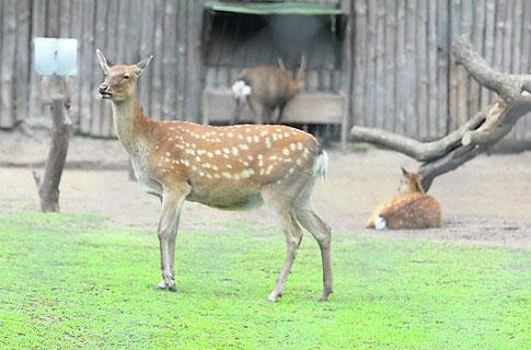 В зоопарке Киева умер пятнистый олень