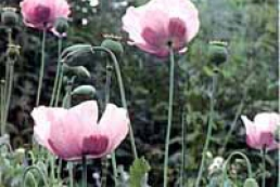 How much room is in an ordinary boot for straw poppy?