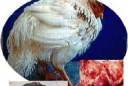 The bird flu has reached Ukraine