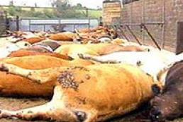 Ukraine exchanges bird flu with loss of cattle