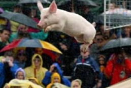 Piglets compete in Moscow
