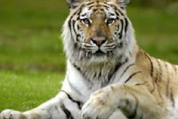Amur (Siberian) tigers have bred in Yalta Zoo