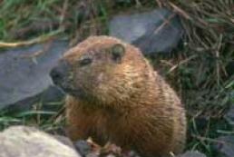 Marmot predicts long cold spring in Ukraine