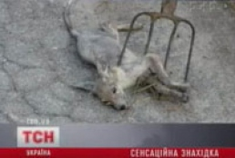 Mysterious animal chupacabra killed in Ukrainian Chernigov region
