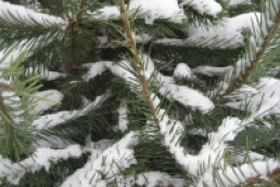 Chip implants help reducing illegal cutting of pine trees
