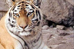 Tiger in Kyiv zoo attacked a zookeeper