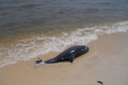Black Sea ecologists alarmed by dolphin die-off along Russia's and Ukraine's seashores