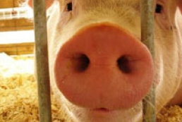 Dnipropetrovsk region bans import of pigs and meat products from Zaporizhya