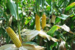 Prysyazhnyuk: Farmers ground the first million tons of corn