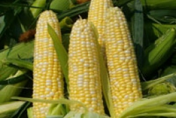 Ukraine exported more than 800 thousand tons of corn