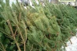 26.5 thousand fir trees seized from poachers