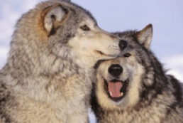 Half population of wolves killed in Ukraine annually
