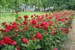 Half a million roses to be planted in Kyiv in May