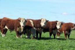 Livestock grows up in Ukraine