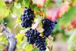 Winery investment project launched in Crimea