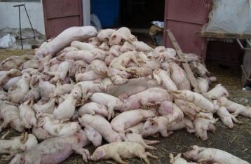 Под Киевом от африканской чумы погибли более 900 свиней
