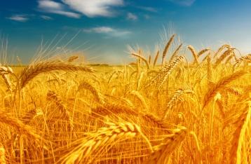 Украина – крупнейший экспортер пшеницы в ЕС