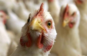 ЕС запретил импорт птицы из Украины в связи с гриппом