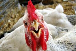 ЕС и ряд стран Азии запретили ввоз птицы из Украины