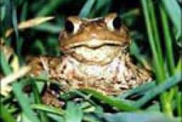 Найменші жаби живуть у Бразилії