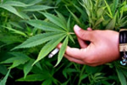 Медицинская марихуана: добрый помощник? Коварный враг?