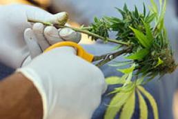 Кабмин лимитировал выращивание наркосодержащих растений