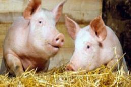 Украина временно запретила ввоз свинины из Беларуси