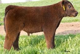 В США разводят плюшевых коров