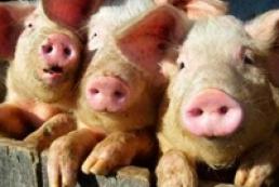 Украина запретила ввоз свиней из Беларуси из-за чумы