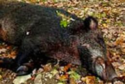 В Україні зафіксовано перший з 2012 року випадок африканської чуми свиней
