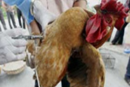 700 кур в Египте погибли не от птичьего гриппа
