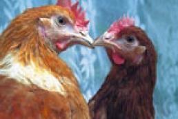 Гонконг вводит запрет на домашнюю птицу