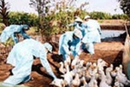 В Африке зафиксирован мутирующий вирус птичьего гриппа